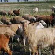 Un cioban cu 50 de capre, surprins de apele Moldovei