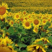 Joburi sezoniere în Olanda *Firma străină oferă 10 locuri de muncă la cules de floarea soarelui