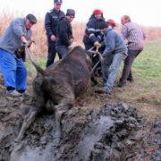 Vacă salvată din mlaştină, la Ţibucani