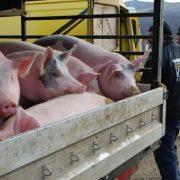 Direcţia Sanitar Veterinară Neamţ: Este interzisă comercializarea porcilor în târguri şi oboare