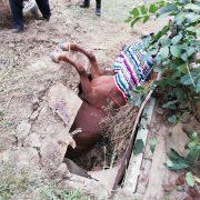 Un cal a fost salvat de pompieri după ce căzuse într-un beci