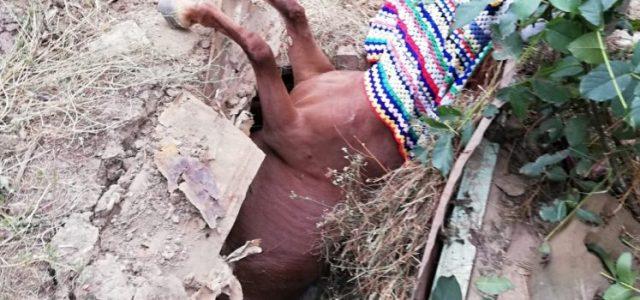 Neamţ: Cal căzut în beci, salvat de pompieri
