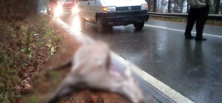 Neamţ: căprioară izbită în plin de un microbuz şcolar