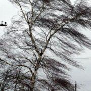 Neam: cod galben de vânt puternic