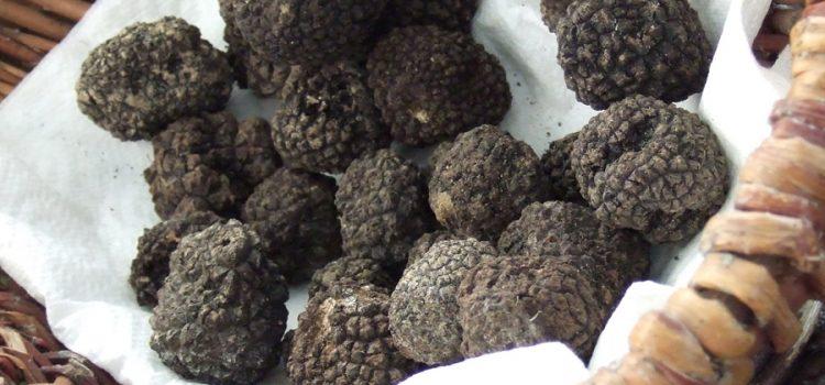 Trufele, păzite de pădurari; cinci culegători cu câini au fost găsiţi la Gîrcina