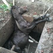 S-au dus să distribuie apă și au dat de un cal căzut în groapă