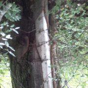 Neamţ: un copac a îmbrăţişat un stâlp, devenind un trunchi comun