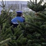 O, brad frumos… confiscat de poliţişti!..