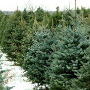 Neamţ-restricţii la tăierea brazilor de Crăciun: Se evită recoltarea acestora fără a avea  desfacerea asigurată!